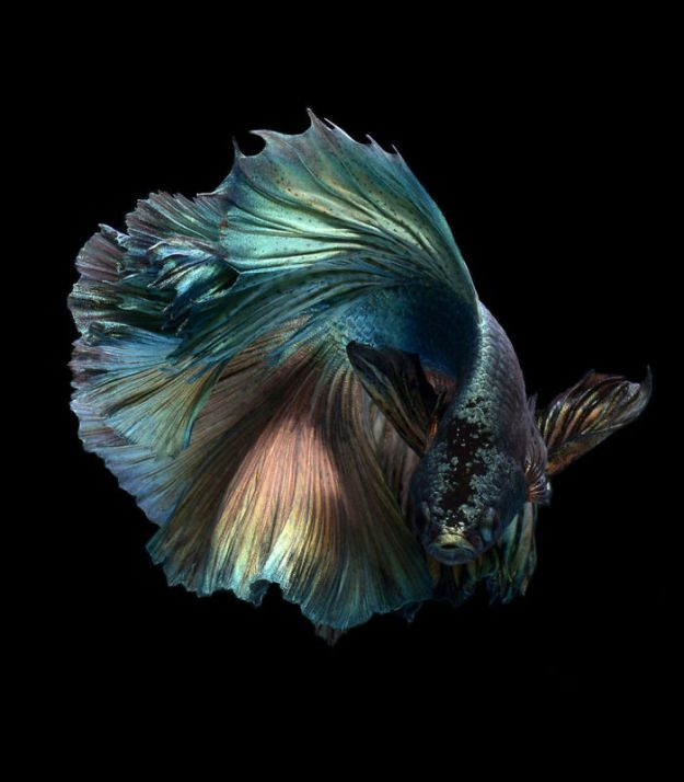 5b75729bd2feb-The-elegant-and-fantastic-poses-of-aquarium-fish-captured-by-a-Thai-photographer-5b709184c1012__700 This Thai Photographer Captures Aquarium Fish Like You've Never Seen Before Photography Random