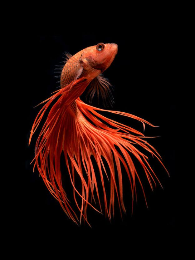 5b75729ca06e2-The-Elegant-And-Fantastic-Poses-Of-Aquarium-Fish-Captured-By-A-Thai-Photographer-5b713a1d537b2__700 This Thai Photographer Captures Aquarium Fish Like You've Never Seen Before Photography Random