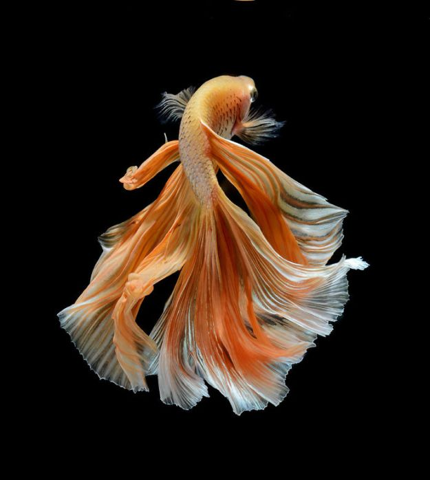 5b75729d0f188-The-Elegant-And-Fantastic-Poses-Of-Aquarium-Fish-Captured-By-A-Thai-Photographer-5b713a0a4b4fe__700 This Thai Photographer Captures Aquarium Fish Like You've Never Seen Before Photography Random