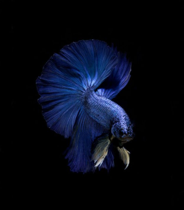 5b75729d85679-The-elegant-and-fantastic-poses-of-aquarium-fish-captured-by-a-Thai-photographer-5b709187d5858__700 This Thai Photographer Captures Aquarium Fish Like You've Never Seen Before Photography Random