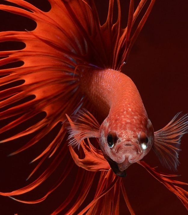 5b75729dce420-The-Elegant-And-Fantastic-Poses-Of-Aquarium-Fish-Captured-By-A-Thai-Photographer-5b713a191b50b__700 This Thai Photographer Captures Aquarium Fish Like You've Never Seen Before Photography Random