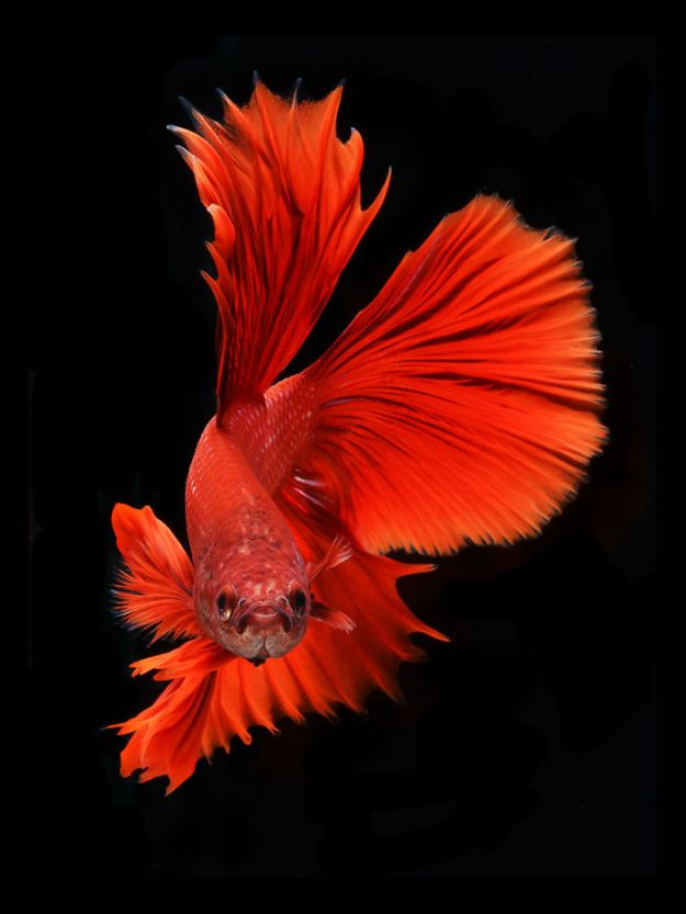 5b75729e25346-The-Elegant-And-Fantastic-Poses-Of-Aquarium-Fish-Captured-By-A-Thai-Photographer-5b713a12eb039__700 This Thai Photographer Captures Aquarium Fish Like You've Never Seen Before Photography Random