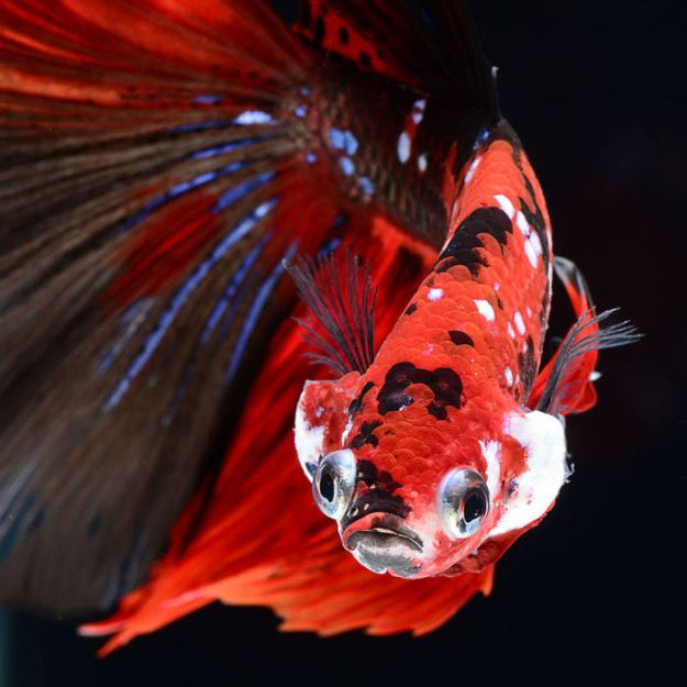 5b75729e4a5d5-The-elegant-and-fantastic-poses-of-aquarium-fish-captured-by-a-Thai-photographer-5b70918be13fe__700 This Thai Photographer Captures Aquarium Fish Like You've Never Seen Before Photography Random