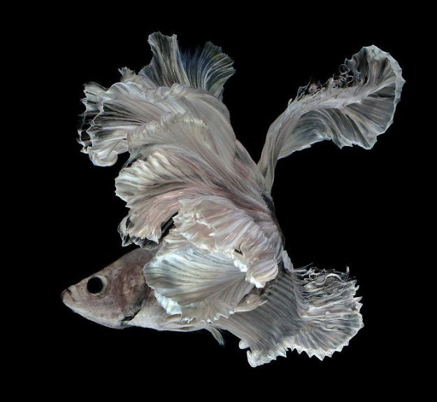 5b75729f8472d-The-Elegant-And-Fantastic-Poses-Of-Aquarium-Fish-Captured-By-A-Thai-Photographer-5b713a1710efd__700 This Thai Photographer Captures Aquarium Fish Like You've Never Seen Before Photography Random