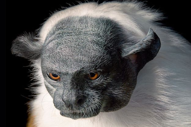 5c136d1789c7e-p124-125-pied-tamarin-5a4601f41d7a9__700 This Photographer Took Pictures Of Animals That Could Soon Be Extinct And This Might Be Your Last Chance To See Them Photography Random