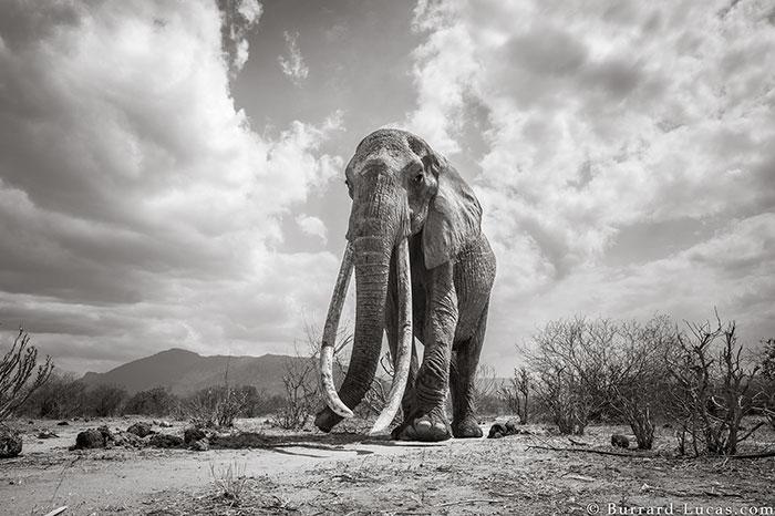 5c8a4f5c16a21 cow elephant queen super tusker will burrard lucas tsavo kenya 9 5c8901bc59a61  700 - Fotógrafo capturou imagens impressionantes da lendária 'rainha dos elefantes' antes de morrer