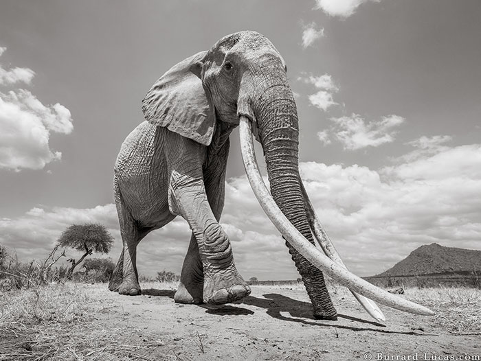 5c8a4f5cd9808 cow elephant queen super tusker will burrard lucas tsavo kenya 2 5c8901ae634d9  700 - Fotógrafo capturou imagens impressionantes da lendária 'rainha dos elefantes' antes de morrer