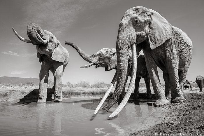 5c8a4f5d9dc94 cow elephant queen super tusker will burrard lucas tsavo kenya 6 5c8901b659beb  700 - Fotógrafo capturou imagens impressionantes da lendária 'rainha dos elefantes' antes de morrer