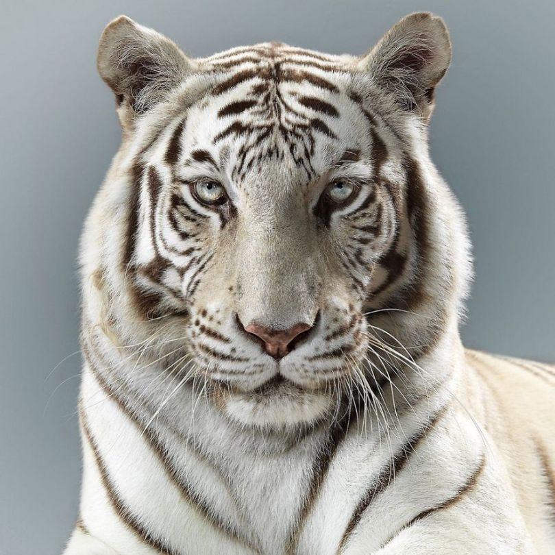 5df9e730ca22f 75472261 551106898779439 2907307257643399496 n 5df6cf49e1dec  880 - Fotógrafo e grandes felinos através de retratos simplesmente de arrepiar