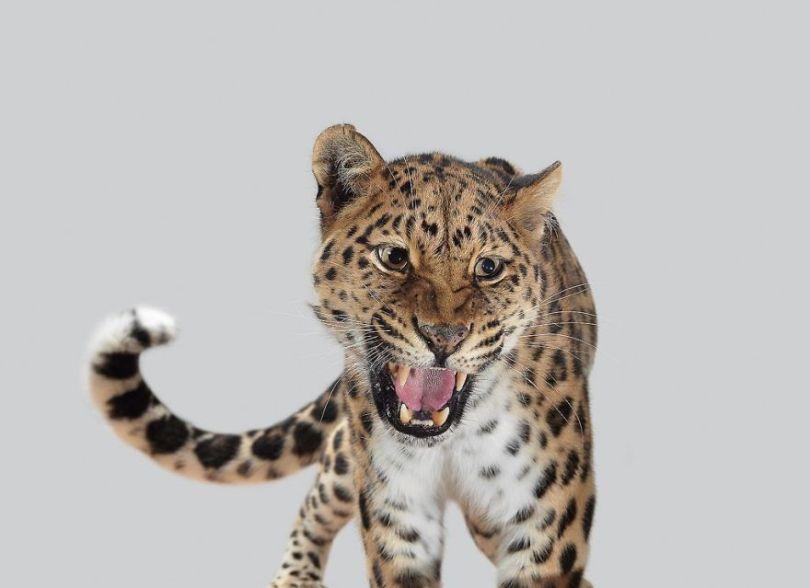 5df9e73220bf2 Fashion photographer has taken big cat portraits for a year and revealed that each animal has its own character 5df74f8c1d42a  880 - Fotógrafo e grandes felinos através de retratos simplesmente de arrepiar