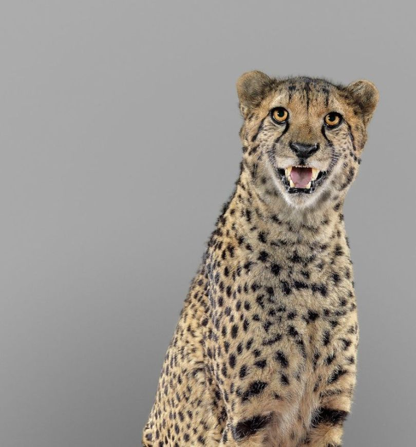 5df9e7331e810 Fashion photographer has taken big cat portraits for a year and revealed that each animal has its own character 5df74f84aa2d3  880 - Fotógrafo e grandes felinos através de retratos simplesmente de arrepiar