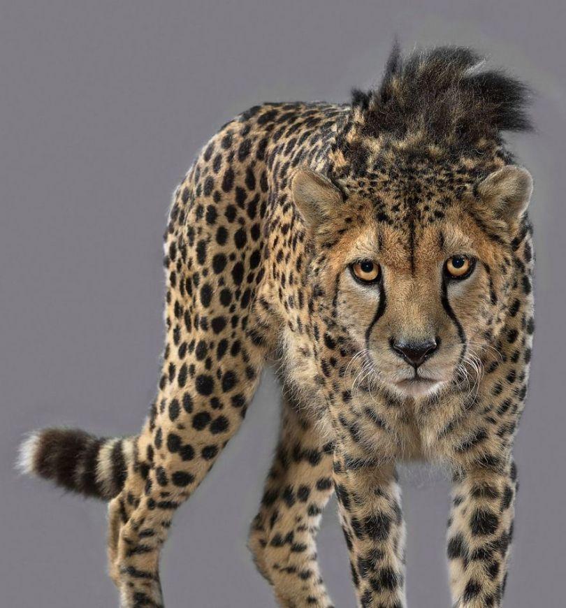 5df9e733a7f34 britanskij fotograf god snimal portrety bolshih koshek i pokazal chto v kazhdom zvere svoj harakter 2 5df6cfd91d095  880 - Fotógrafo e grandes felinos através de retratos simplesmente de arrepiar