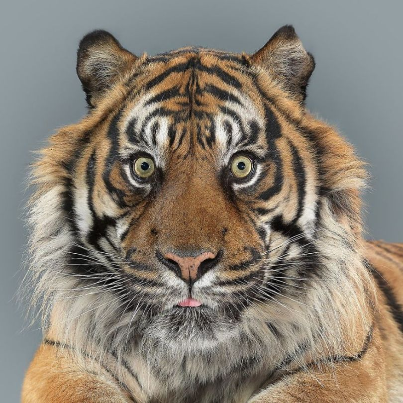 5df9e7348361d 75200963 721651028335978 6545645701375819904 n 5df6cf017ba94  880 - Fotógrafo e grandes felinos através de retratos simplesmente de arrepiar