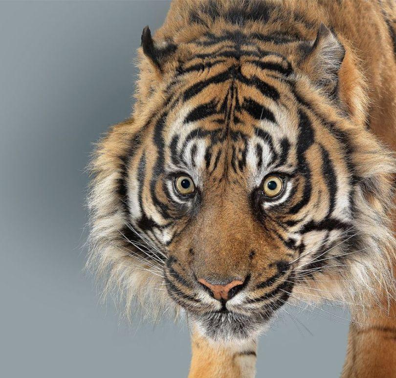 5df9e7355dfed Fashion photographer has taken big cat portraits for a year and revealed that each animal has its own character 5df74f7f2b0d2  880 - Fotógrafo e grandes felinos através de retratos simplesmente de arrepiar