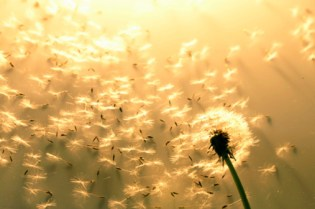 let-go-and-move-on dandelions