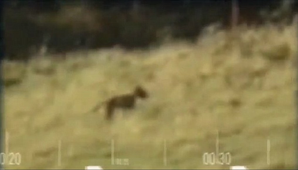 In a video, in the background, an Australian thinks he has seen a  Thylacine (youtube screen capture)