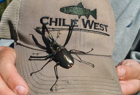 Cantaria Beetle - Covich