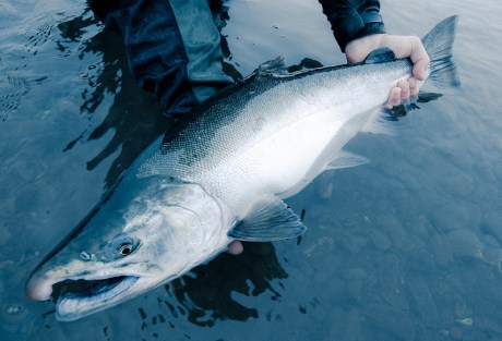 Silver Salmon Chrome by Louis Cahill Photography