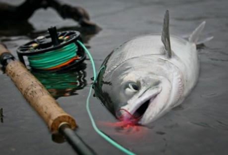 Ode to Chum Salmon