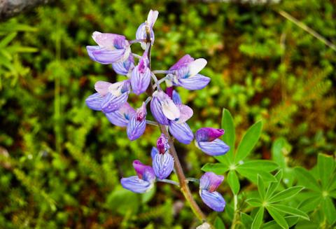 Flora of Alaska-2
