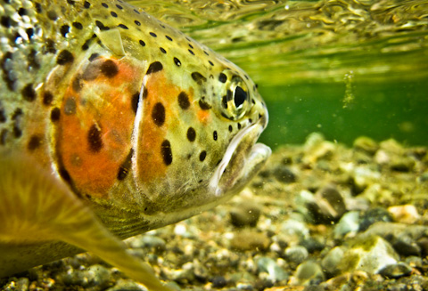 Alaska Trout Fishing Pictures-2