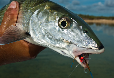 Bonefish and Fly
