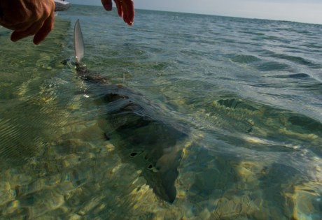 Releasing a Bonefish