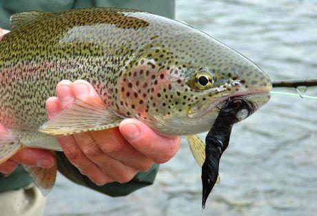 Alaska Rainbow Trout - Little Ku