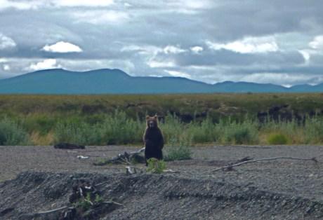 Bear at Alaska West