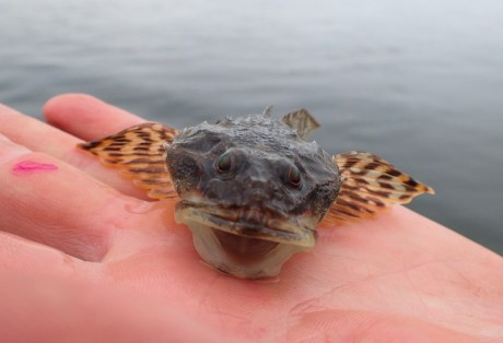 Smiling sculpin