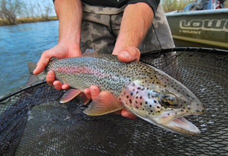 Fly Fishing for Leopard Rainbow Trout in Alaska