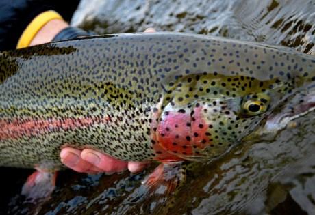 Alaskan leopard rainbow trout