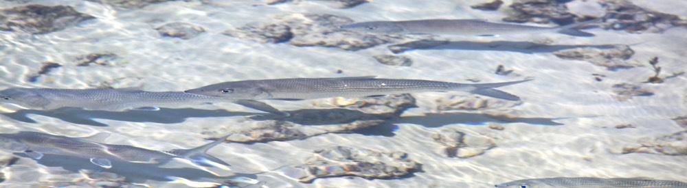 petervbonefish01