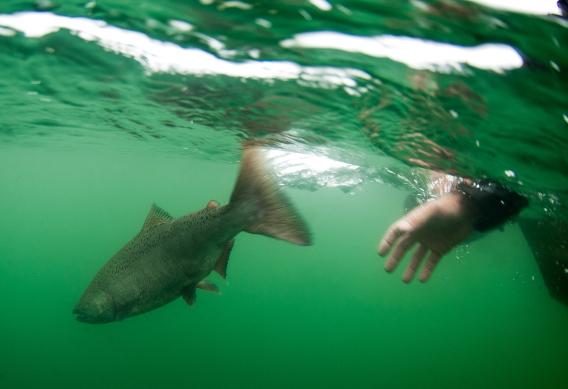 Releasing a king salmon.