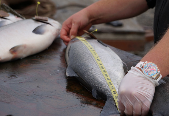 Calculating fish weight