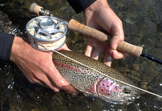Fly fishing for leopard rainbow trout.