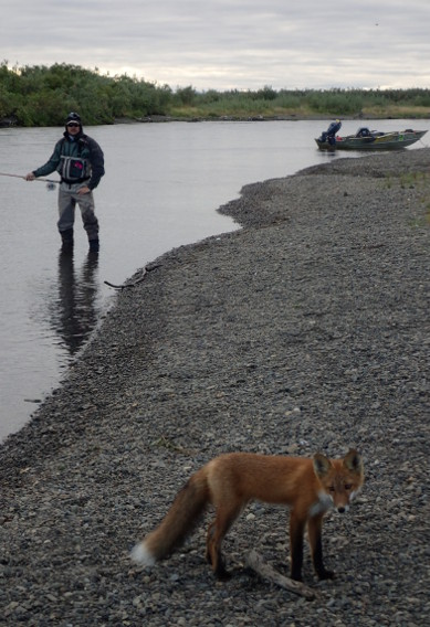 Fly fishing and foxes