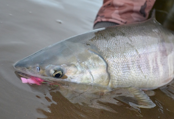 Fly fishing for chum salmon with poppers.