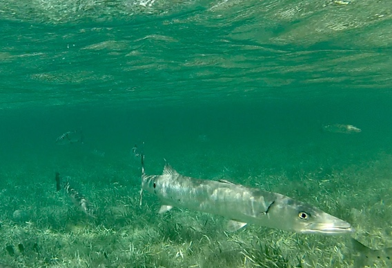 Fly fishing for barracuda at Andros South