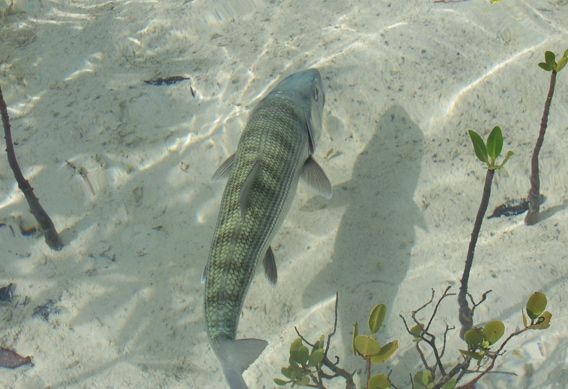 Casting to this fish's left will likely cast a spooky shadow. Photo Credit: Peter Viau.