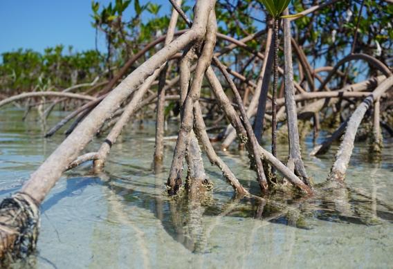 Reading mangroves for tide direction.