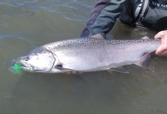 Aqua Flies fly patterns for king salmon