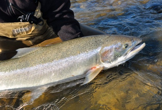 Tips for catching steelhead