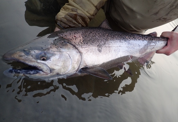 King salmon from Alaska West