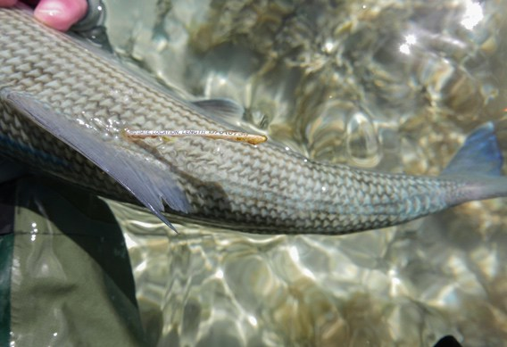 South Andros tagged bonefish