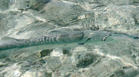 Barracuda camouflage