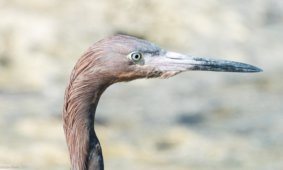 South Andros Heron by Bill Kalm