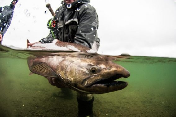 Swinging for king salmon