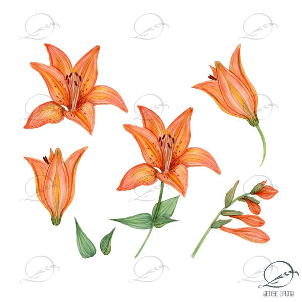 floral-elementos-lírios laranjas - denise bruno studio