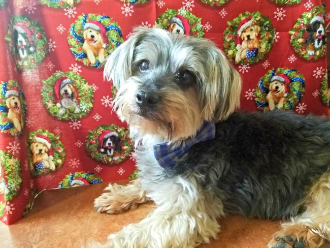 Holidays, Hounds and Hot Buys Shasta Brooklyn BowTied